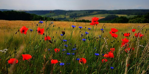 poppies-cornflowers-2-1