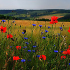 poppies-cornflowers-2-1