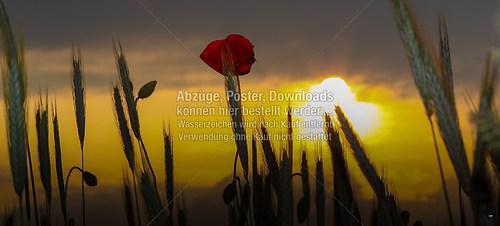 2015-06-06-LW-Fotograf.de-im Kornfeld--9058