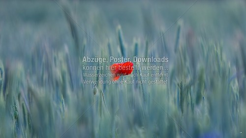 2015-06-06-LW-Fotograf.de-im Kornfeld--9070