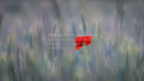 2015-06-06-LW-Fotograf.de-im Kornfeld--9091