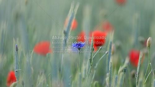 2015-06-06-LW-Fotograf.de-im Kornfeld--9095