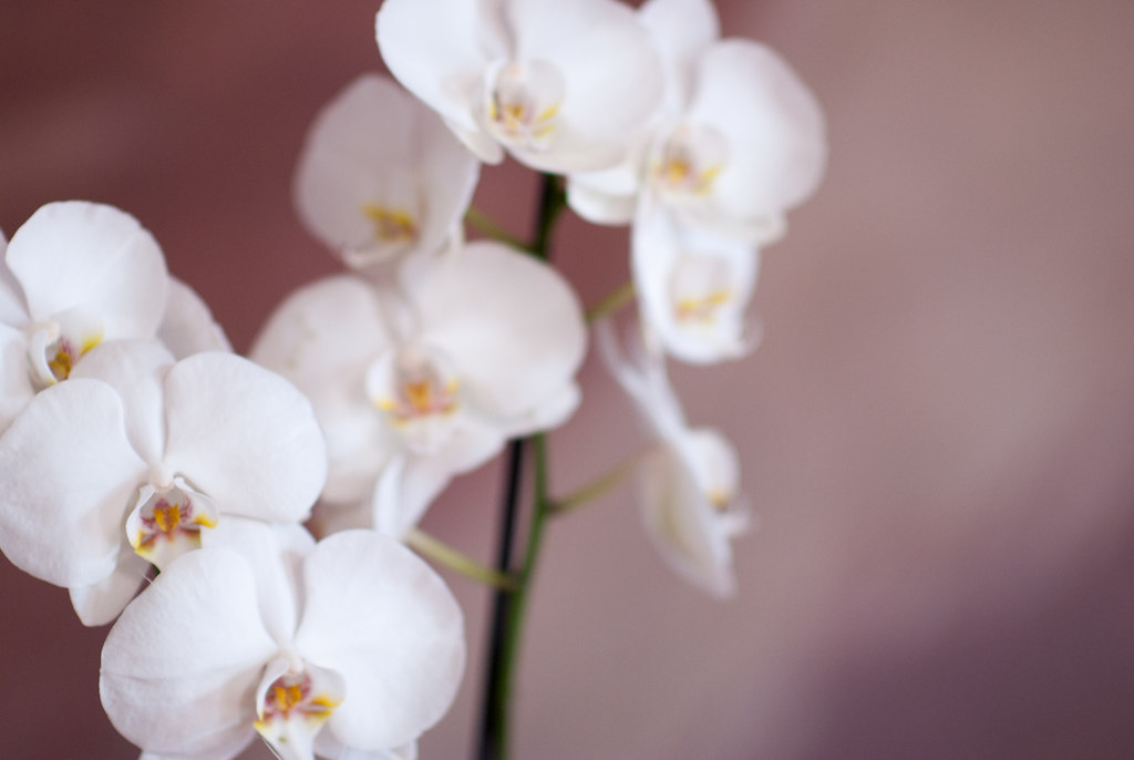 345-Orchidee
