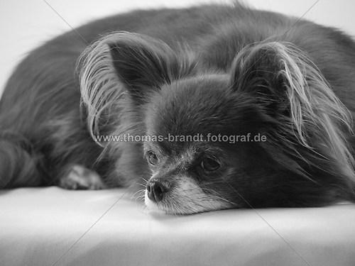 Hund Mandy (Hund_Mandy_sw)