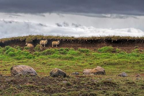 Schlaue Schafe