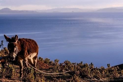 Esel auf der Isla del Sol