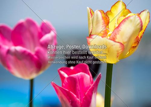 Die Farben der Tulpe_Small