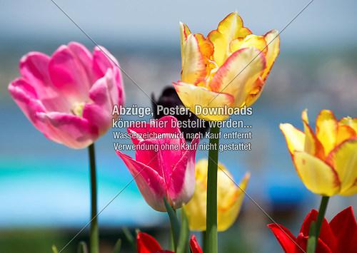 Die Farben der Tulpe