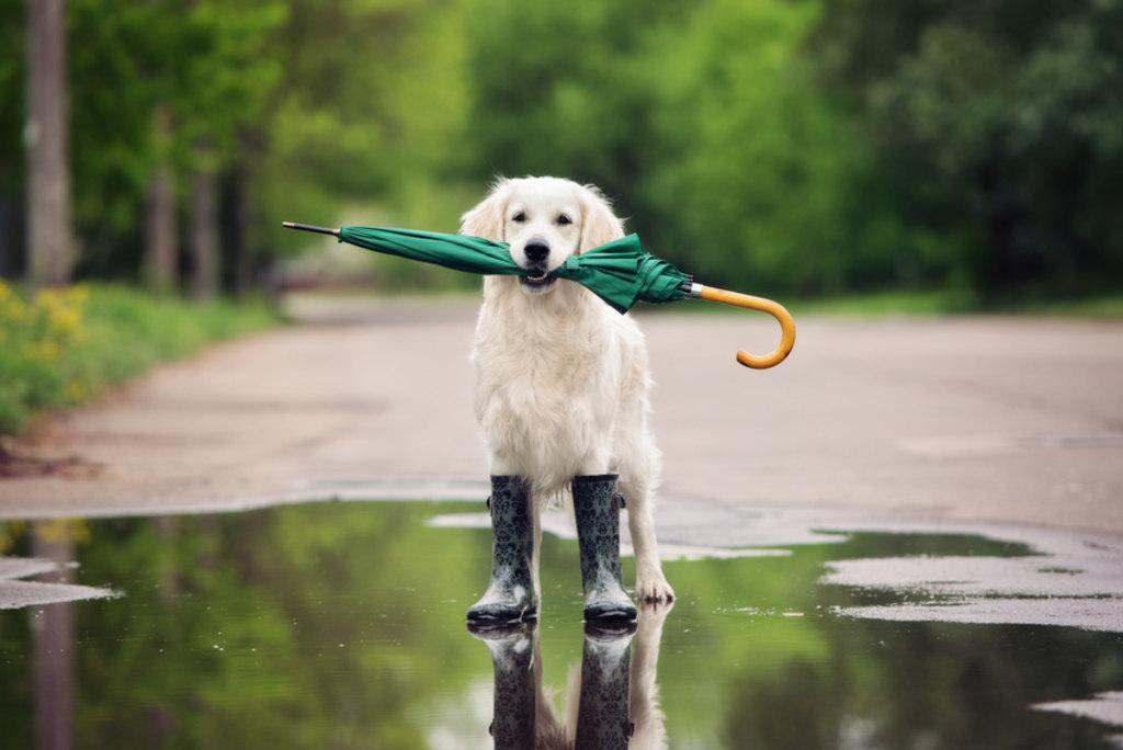 golden retriever dog in rain boots holding an umbrella (Fotolia_110664347_S)