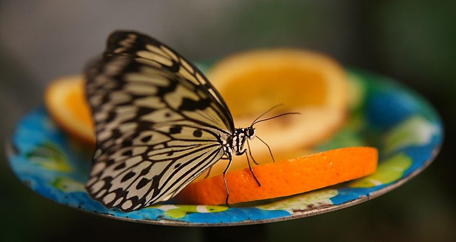 Schmetterling   SONY DSC