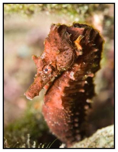 seahorse-3-copy